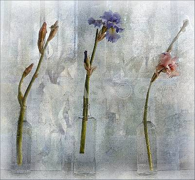 Three bottles of clear glass, each with a single iris flower. Artistic processing, painting, painting.