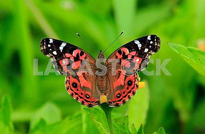 Brazilian Painted Lady Butterfly