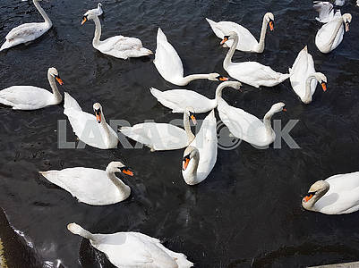 A Group of Swans