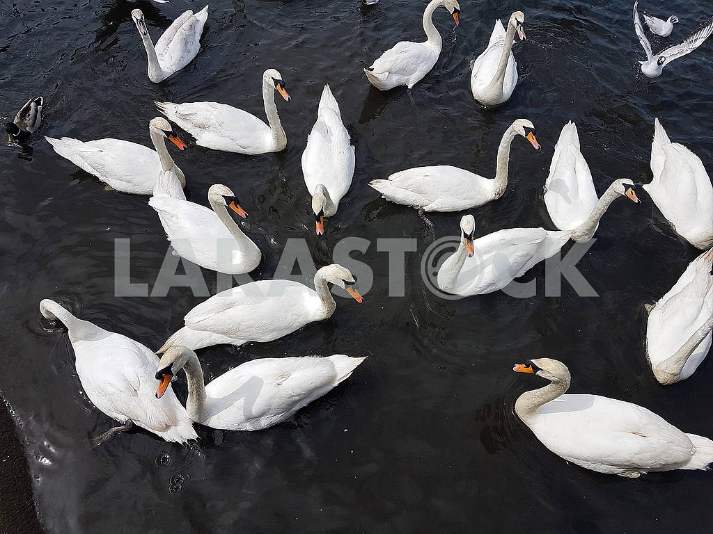 A Group of Swans — Image 56552