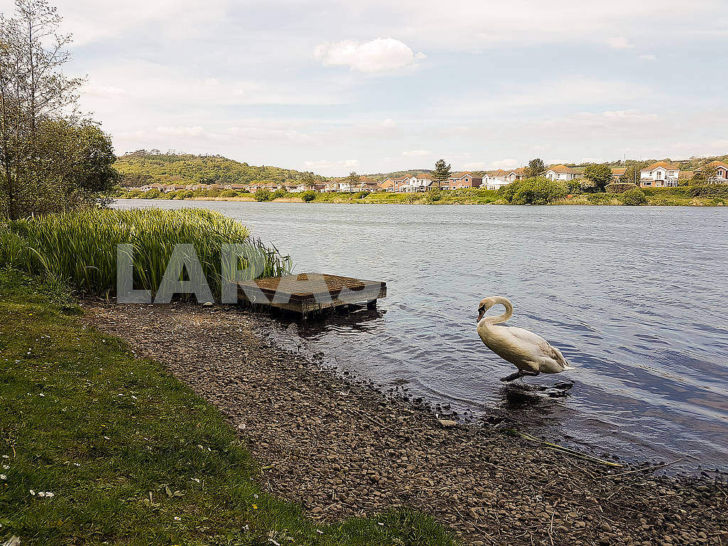 Swan on the Shore — Image 56554