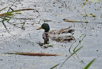 Ducks in the Dnieper