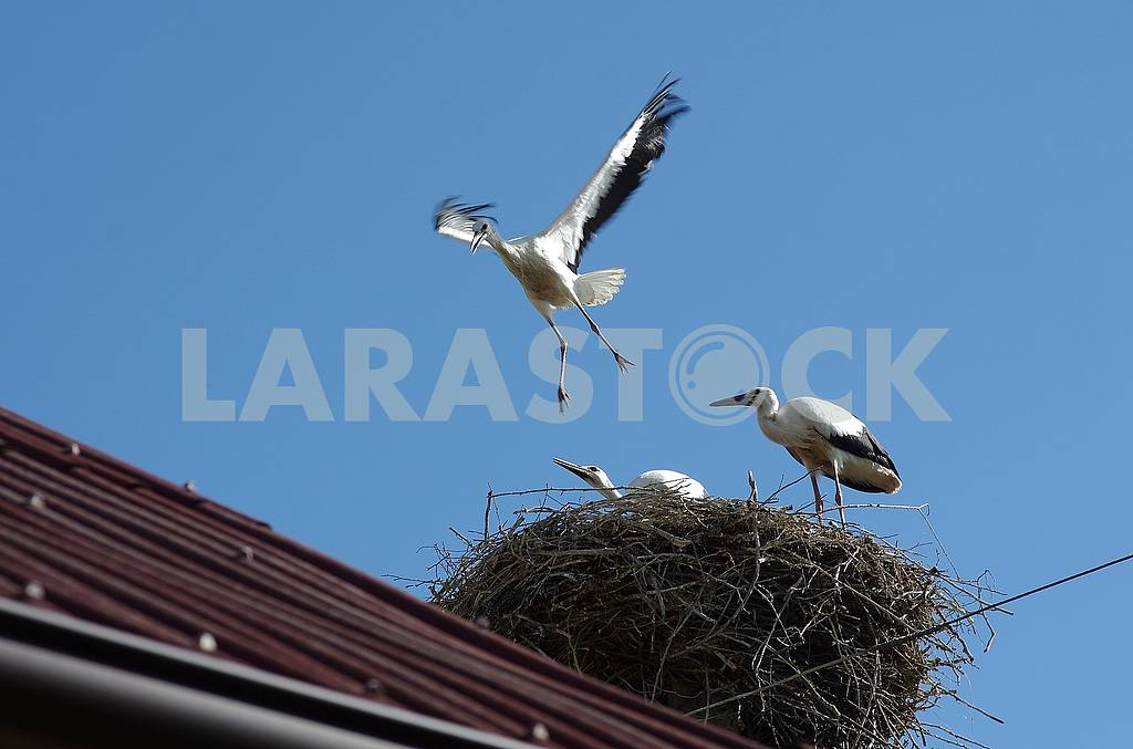 Three chicks of the stork in the nest. One of them tries to fly. He rose slightly above the nest, spreading his wings. — Image 57705