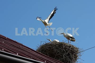 Three chicks of the stork in the nest. One of them tries to fly. He rose slightly above the nest, spreading his wings.