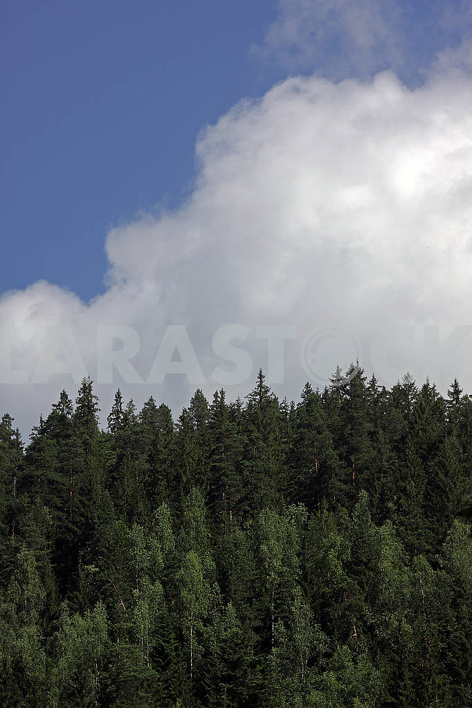 Coniferous forest and clouds in the sky — Image 60745