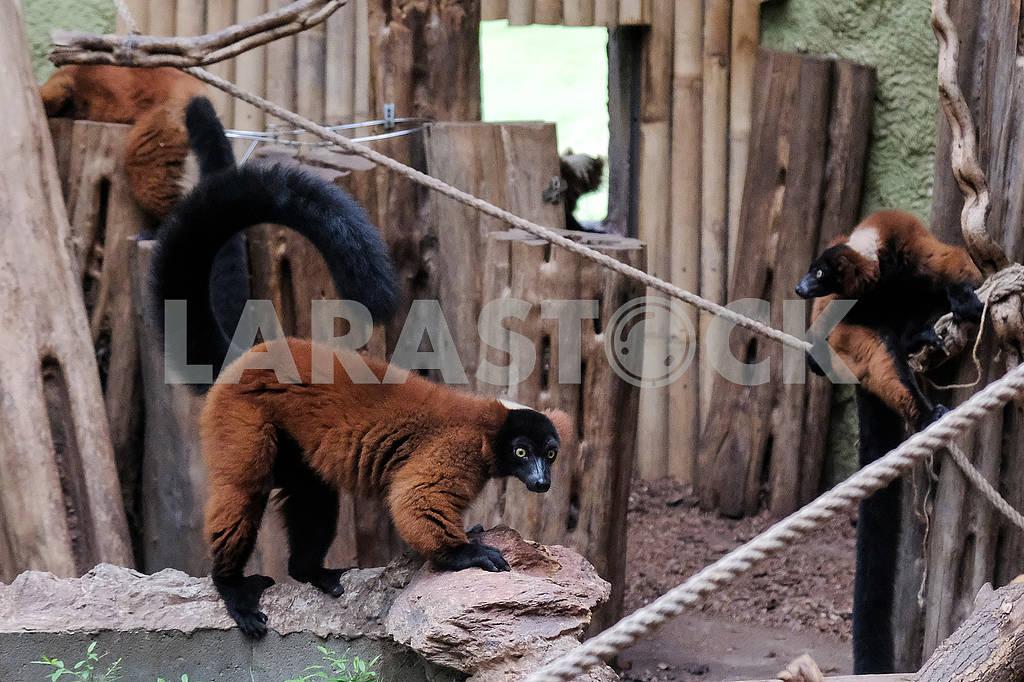Family of lemurs — Image 60869