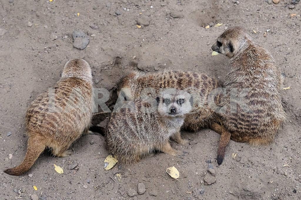 Lemurs — Image 60870