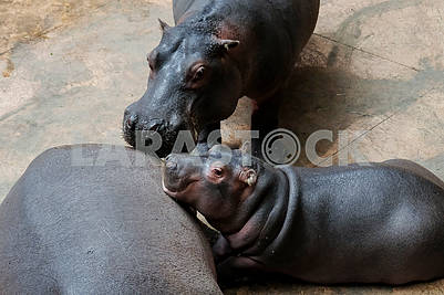 Family of hippos