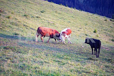 Bulls fight in the mountains