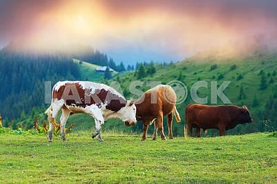 Бой быков на рассвете
