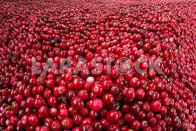 lot of red bilberry stock for the winter