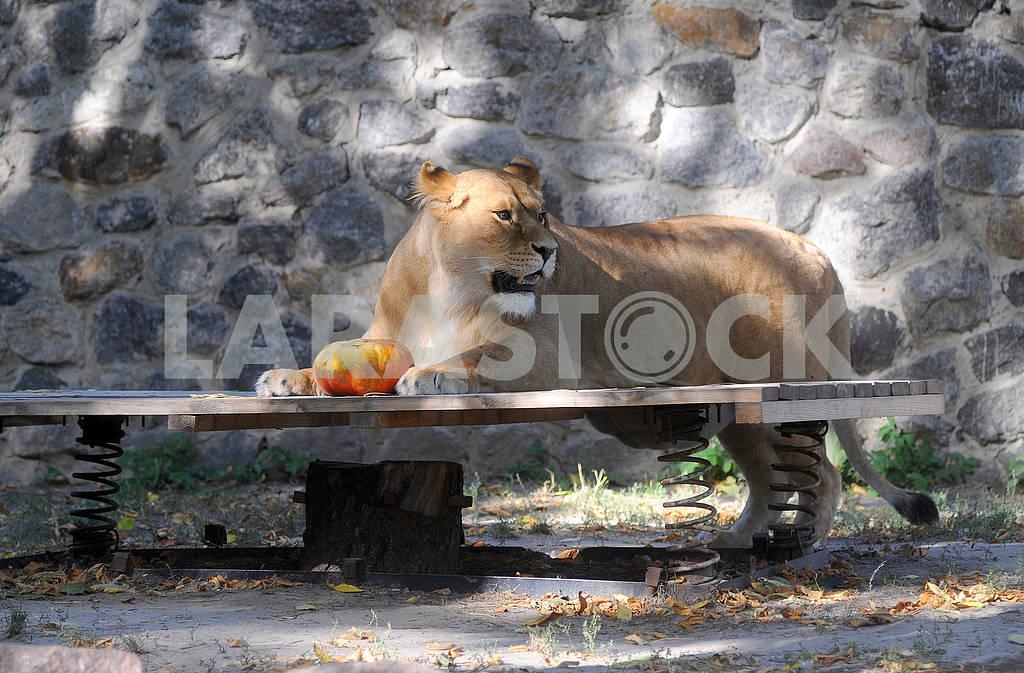 Львица с тыквой — Изображение 62517