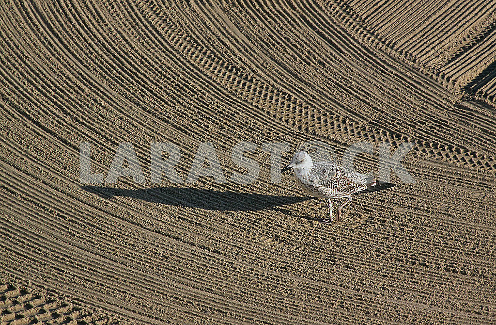 Lonely seagull on cleaned by a tractor sand on the Mediterranean — Image 62597