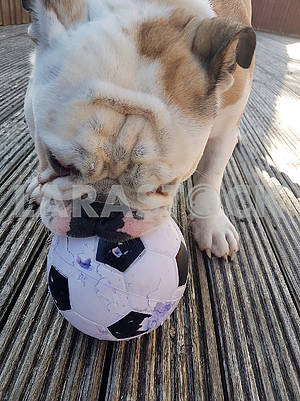 British Bulldog Chewing on a Football