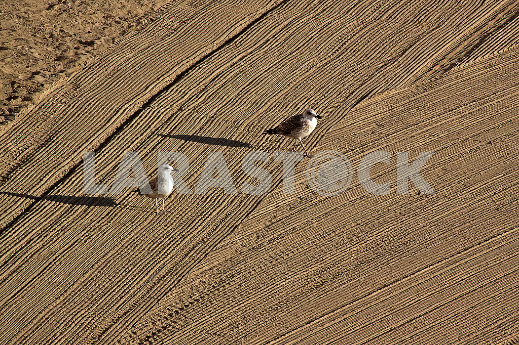 Two  seagulls on cleaned by a tractor sand on the Mediterr — Image 62737