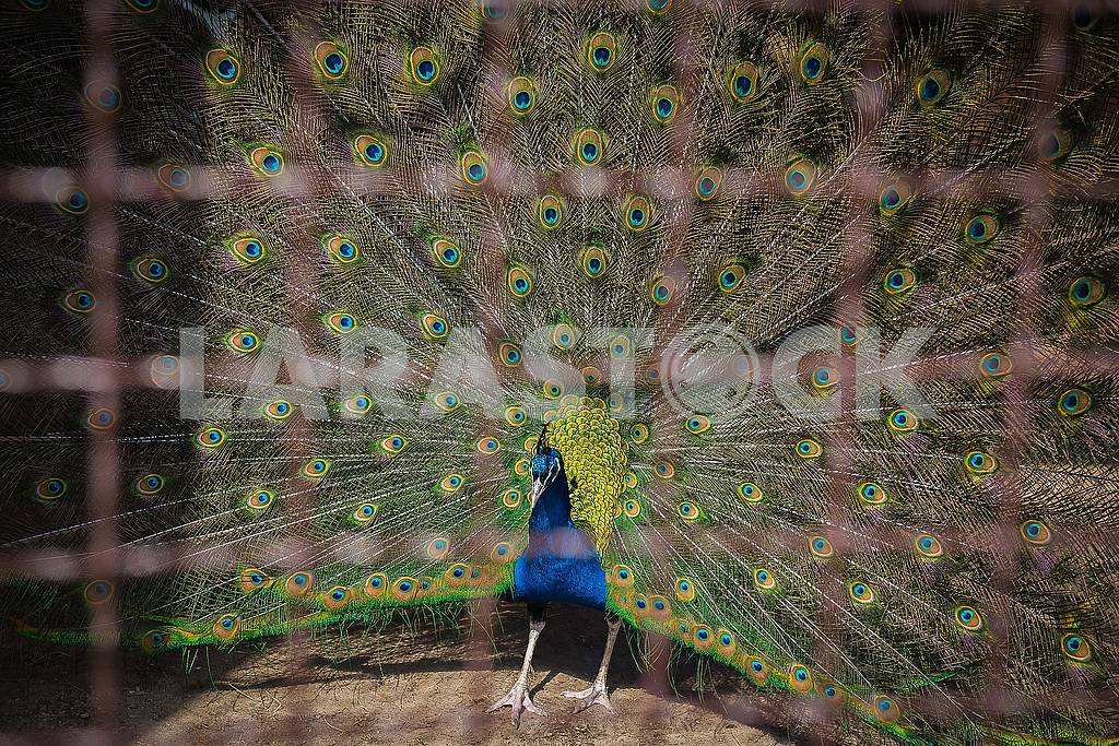 Peacock in the cage with his tail feathers — Image 62755