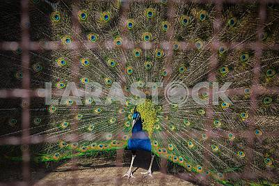 Peacock in the cage with his tail feathers