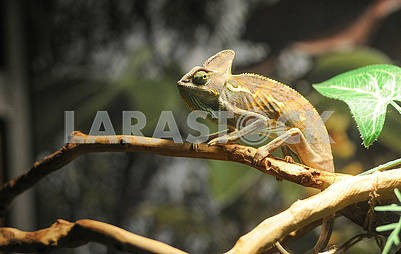 Chameleon at the zoo
