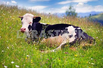 Cow in Blooming Herbs