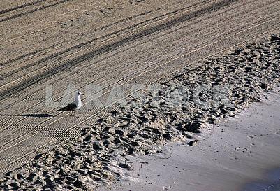 Одинокая чайка на очищенном трактором песке на Средиземном море