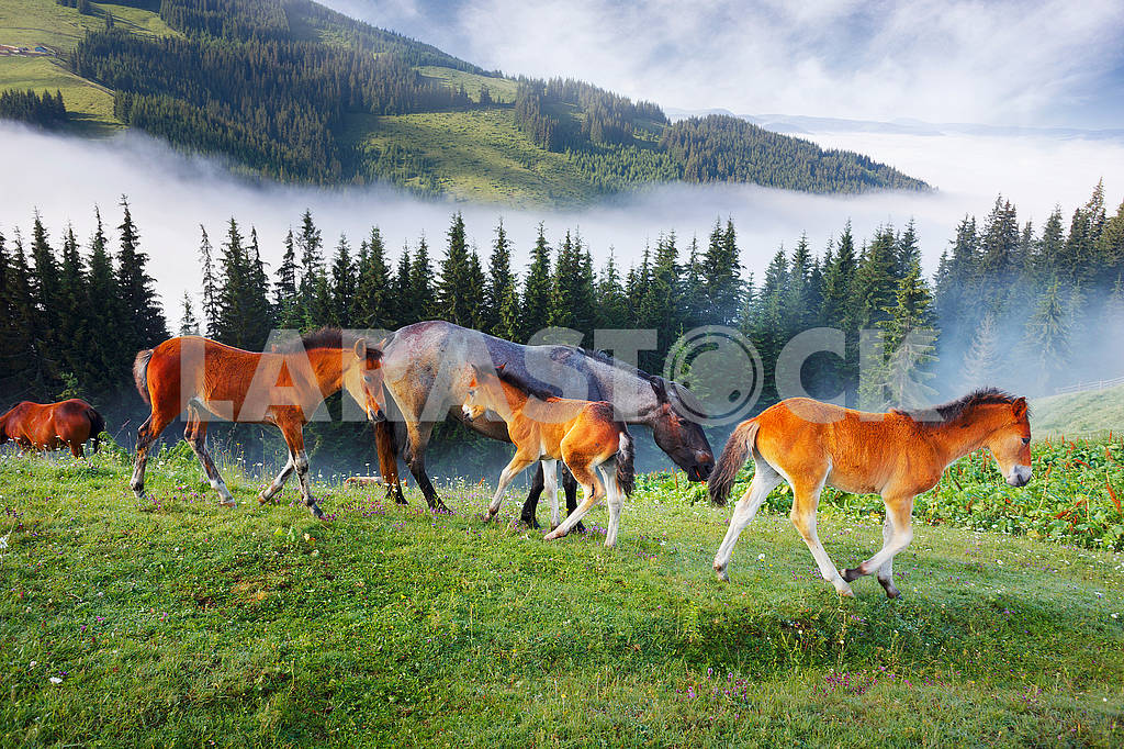 Horses in the foggy Carpathians — Image 63380