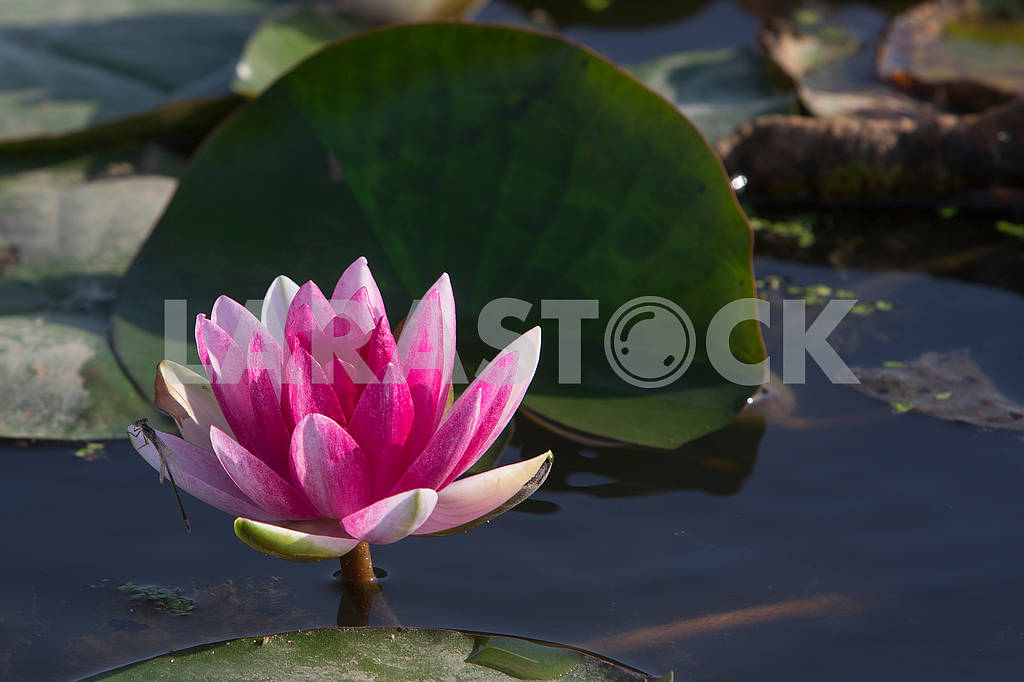 Water lily — Image 63387
