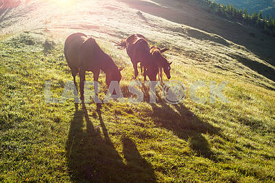 Horses in the foggy Carpathians