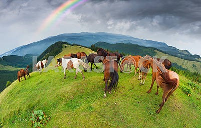 Free Carpathian stallions