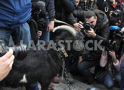 Black goat near the Czech embassy