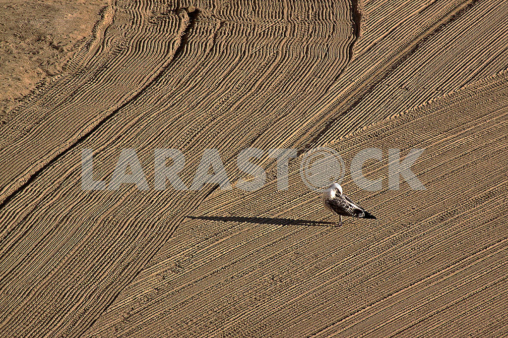 Lonely seagull on cleaned by a tractor sand on the Mediterranean — Image 63433