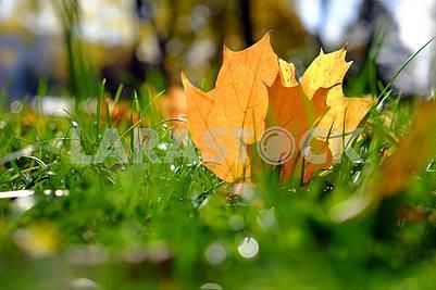 Autumn leaf on the grass