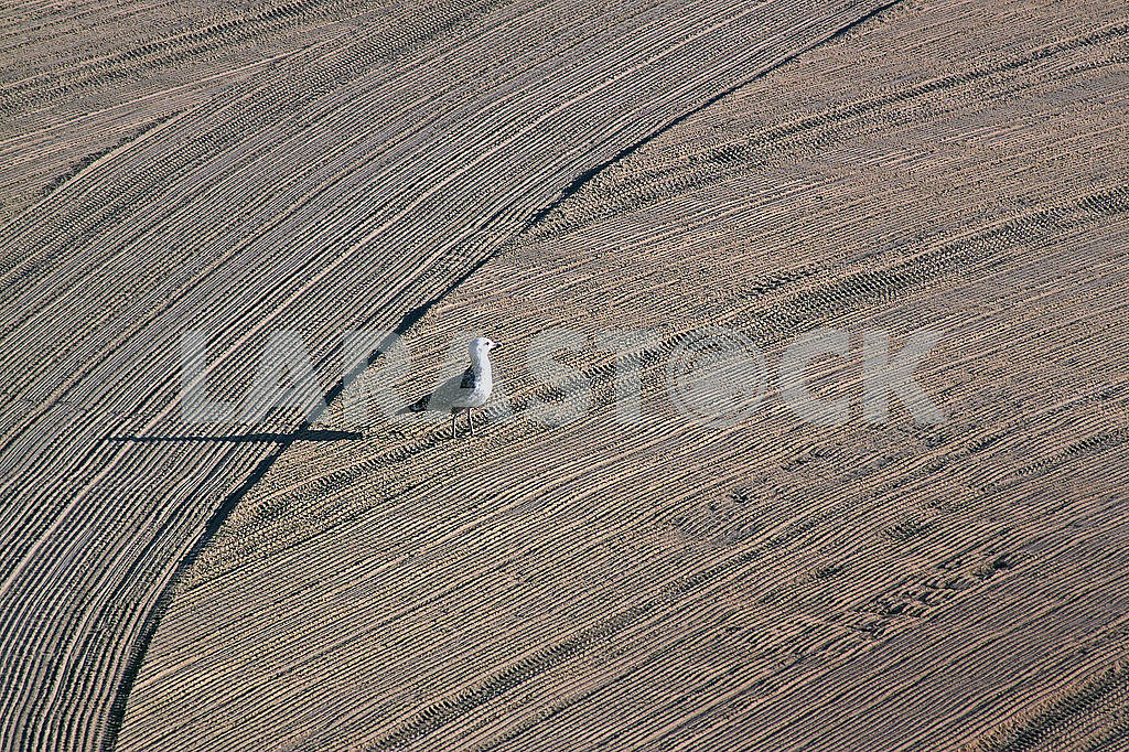Lonely seagull on cleaned by a tractor sand on the Mediterranean — Image 63503