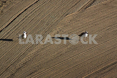 Two seagulls on cleaned by a tractor sand on the Mediterr