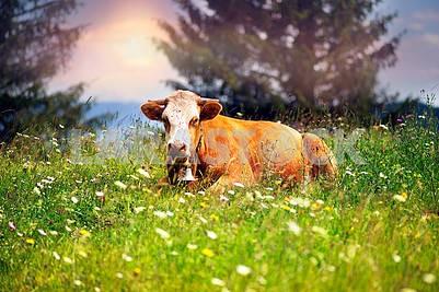 Корова в цветущих травах