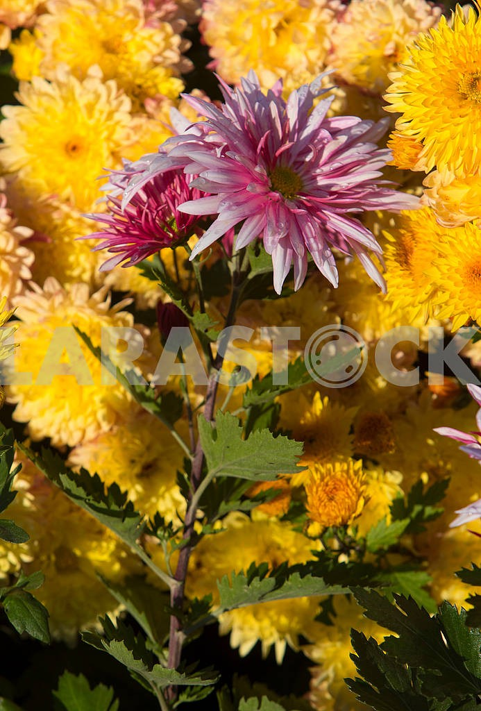 Chrysanthemums in the botanical garden — Image 63850