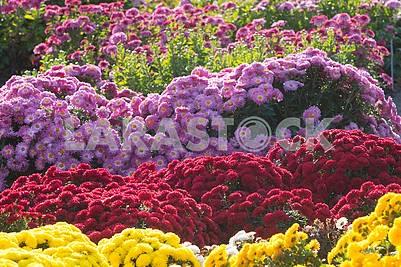 Хризантемы в ботаническом саду