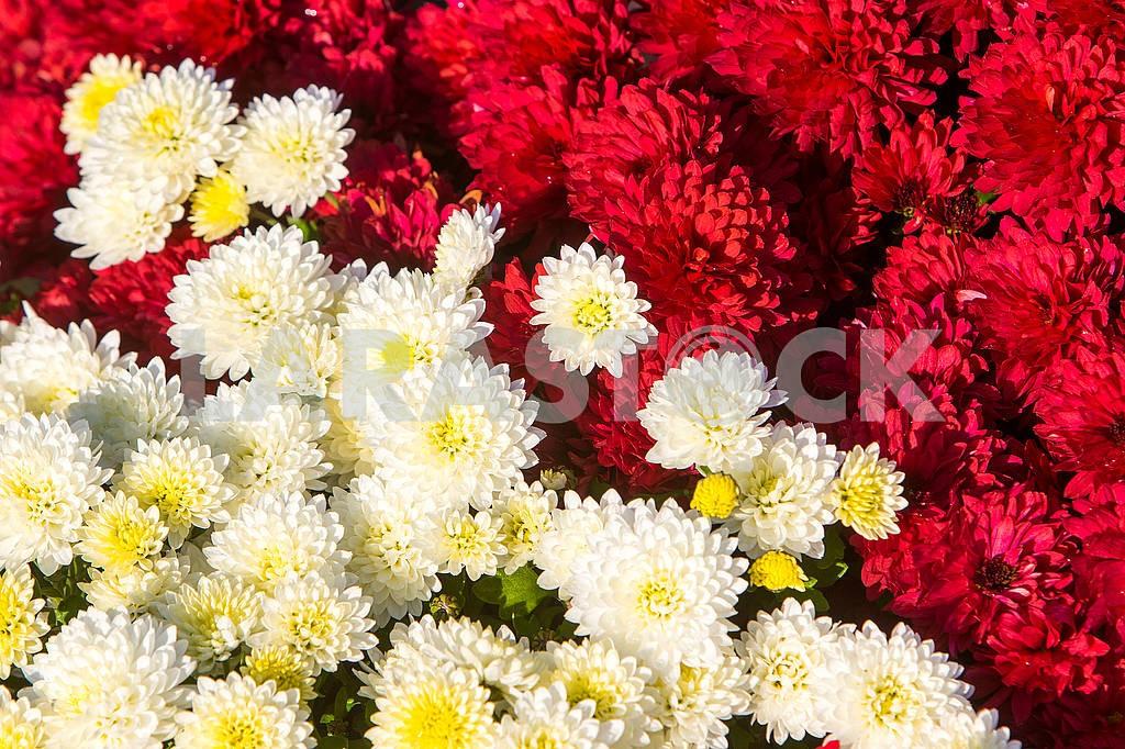 Chrysanthemums in the botanical garden — Image 63971