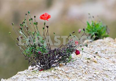 Red poppy in stone