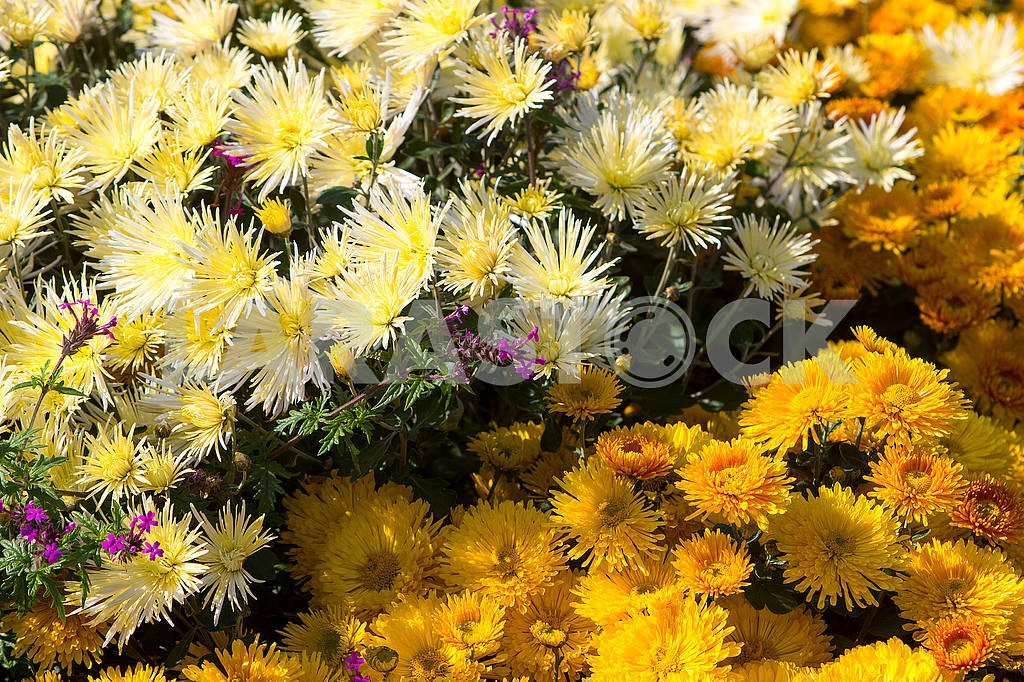 Chrysanthemums in the botanical garden — Image 64040
