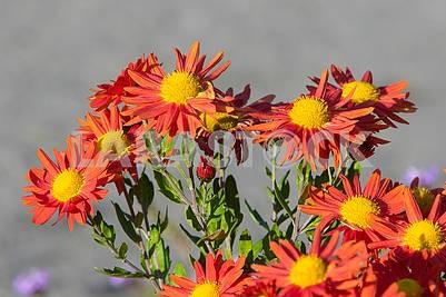 Chrysanthemums in the botanical garden