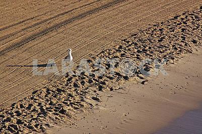 Одинокая чайка на очищенном трактором песке на средиземноморском пляже
