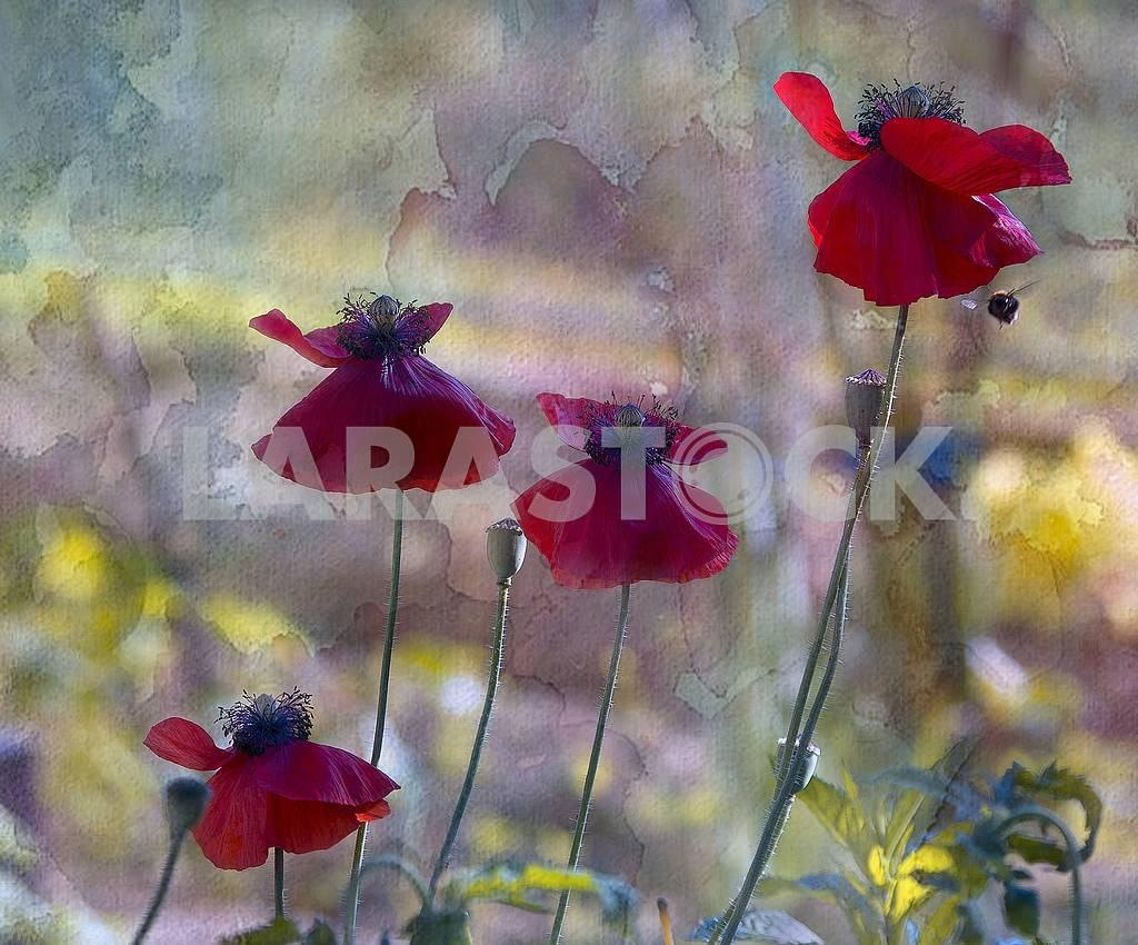 Four scarlet poppies, poppy boxes, a flying bee. Processing under the water color. — Image 64118