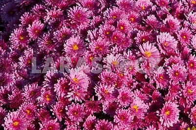 Лиловые хризантемы