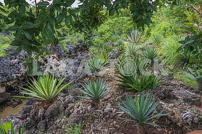 Aloe and yucca bushes
