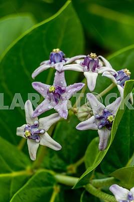 Лилии на Занзибаре