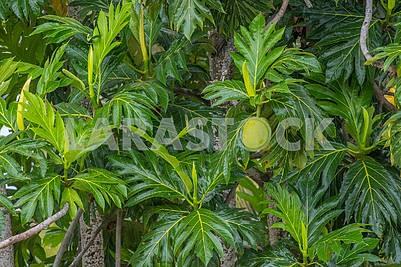 trees in Zanzibar