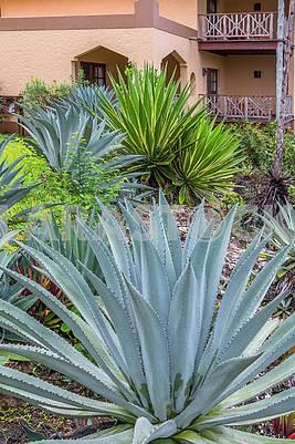 Aloe and yucca near the hotel in Zanzibar