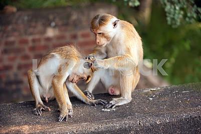 Family of monkeys on the island of Sri Lanka