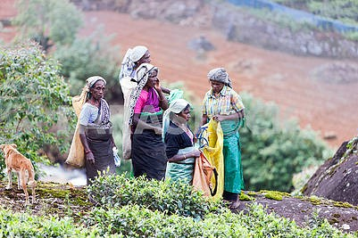 Women - tea gatherers on the plantations of Sri Lanka 21. 02.201