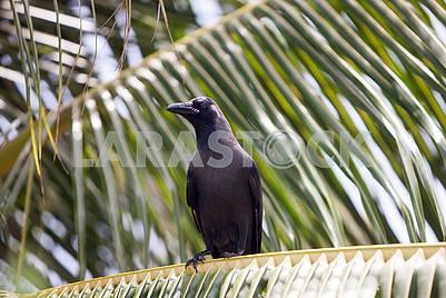 Ворона на пальме